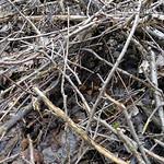 biotop - Gymnopus vernus - peniazovka jarná