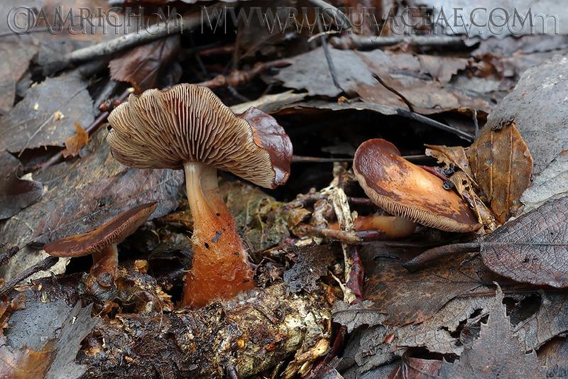 Gymnopus vernus - peniazovka jarná