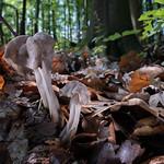 Helvella lacunosa - chriapač jamkatý