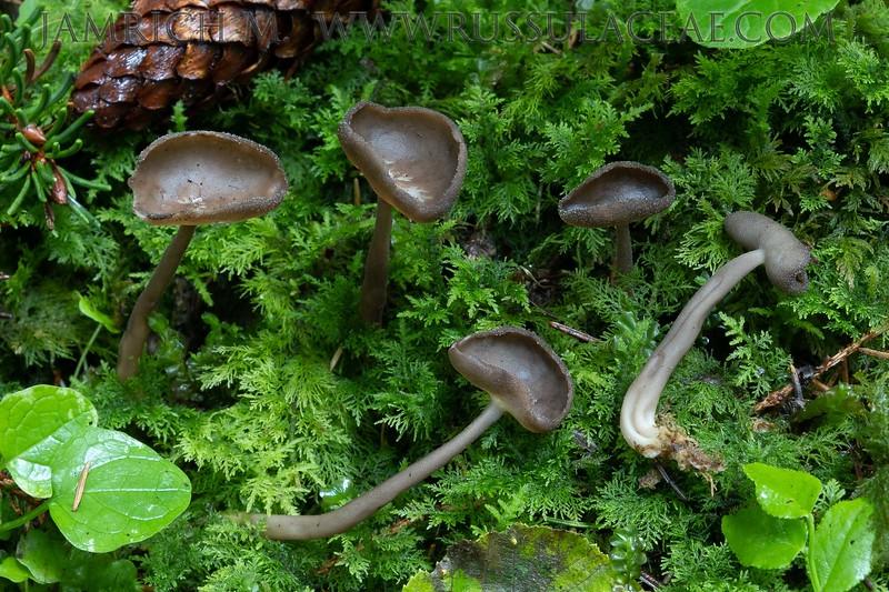 Helvella macropus - chriapač brvitý