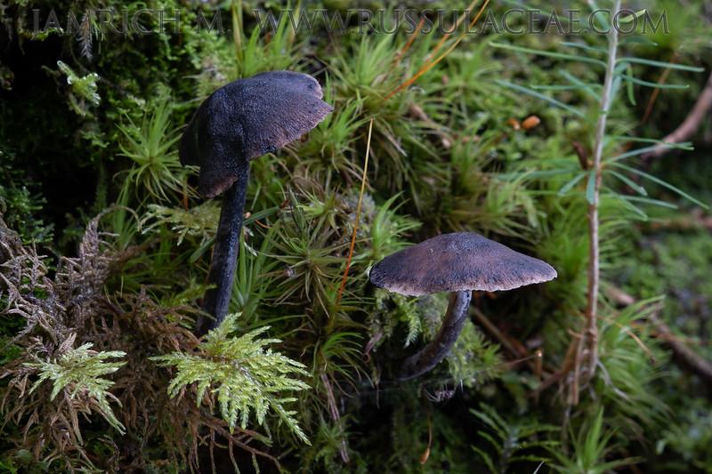 Hydropus atramentosus - zvončekovec sadzový