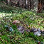 Hygrophorus marzuolus -šťavnačka marcová