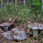 Hygrophorus marzuolus - šťavnačka marcová