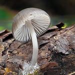 Mycena strobilicola - prilbička šišková