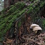 Neolentinus adhaerens - húževnatec pritlačený