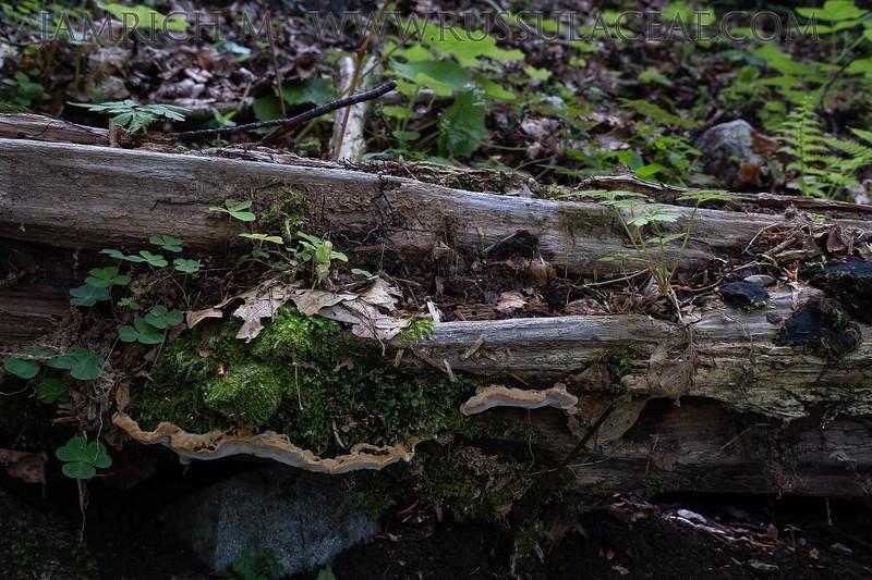 Phellinus nigrolimitatus - ohňovec ohraničený