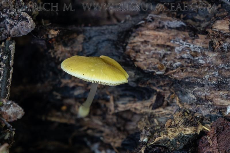 Pluteus chrysophaeus - štítovka škoricovohnedá