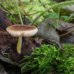 Pluteus romellii - štítovka žltohlúbiková