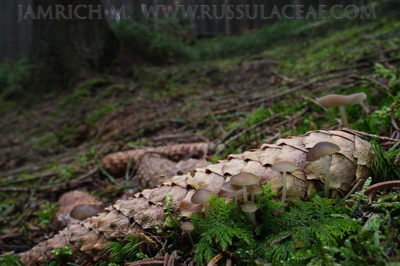 Strobilurus esculentus - peniazočka smreková