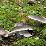 Tricholoma saponaceum - čírovka mydlová