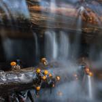 Vibrissea truncorum - mihavka vodná