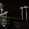 Roridomyces phyllostachydis