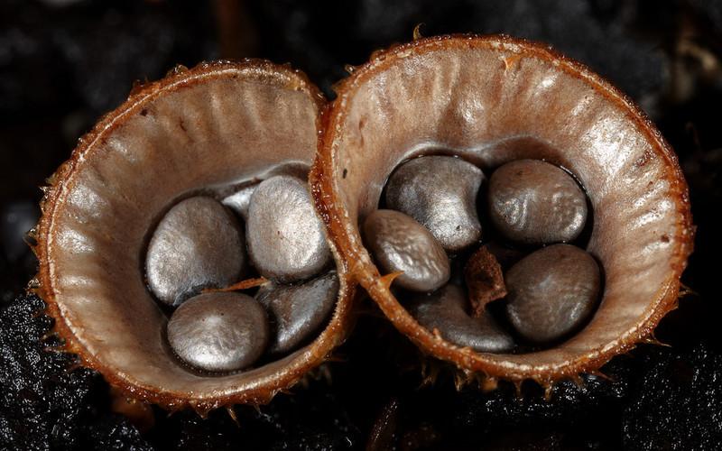 Cyathus striatus or Birds Nest Fungi,  Booyong