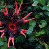 Aseroe rubra (starfish fungi)
