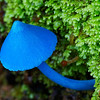 Sky blue mushroom.  Entoloma Hochstetteri, Fox Glacier, New Zealand