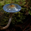 Elegant blue webcap.  Cortinarius rotundisporus, Julius River, Tarkine, Tasmania