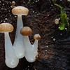 Austral dripping bonnets, Mycena austrororida