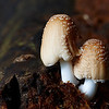 Coprinellus radians group