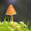 Galerina hypnorum
