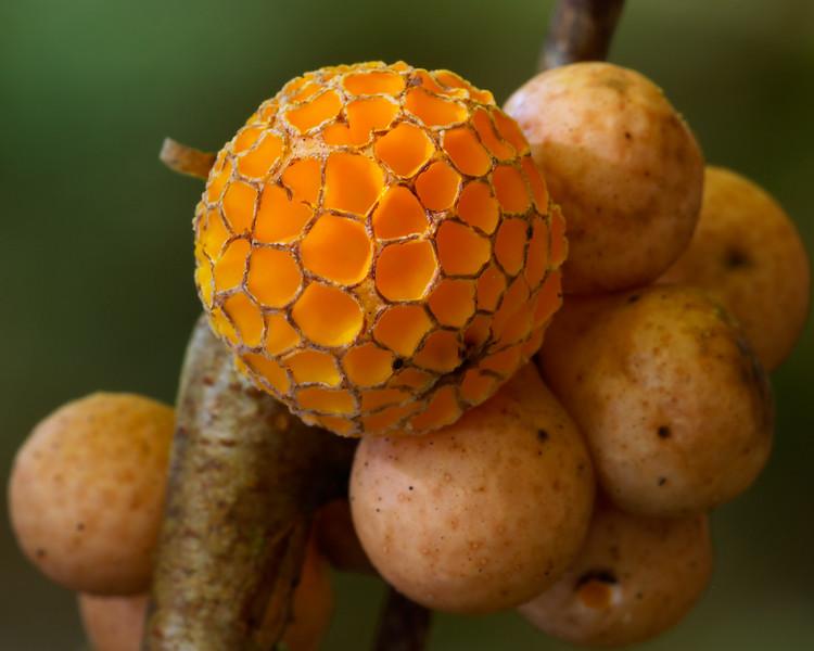 Beech Orange.  Cyttaria gunnii, Tara Valley, Victoria