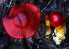 Splendid red skinhead, Dermocybe splendida, Bunyip State Forest, Victoria
