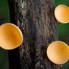 Bisporella citrina