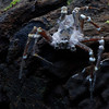 Fungus spider (possible Beauveria sp.  or Sugar Icing Fungus)<br /> A spider caught by fungus. After a little research it would appear that this is likely to be a highly specific fungus, which only attacks the one species of spider – and it may be as specific as a species of huntsman (which this is). This is possible a species of Beauveria fungus which is similar to Metarhizium anisopliae. This is used to, among other things, attack the Australian plague locust. It seems likely that the spider gets infected by the fungus which then takes 10-14 days to kill it. It then continues to grow (like this) and will presumably produce some fruiting bodies. These may not be very prominent as a large mushroom growing out of a spider would probably have been noted by now.<br /> <br />   Minyan falls, June 2009