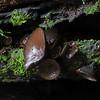 Plectania campylospora