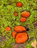Eyelash Fungus, Scutellinia scutellata - Cathedral Grove, Vancouver Island, B.C.