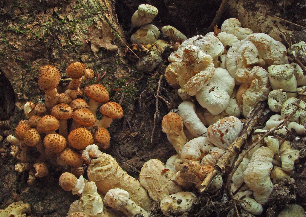 Armillaria melea and Entoloma abortivum