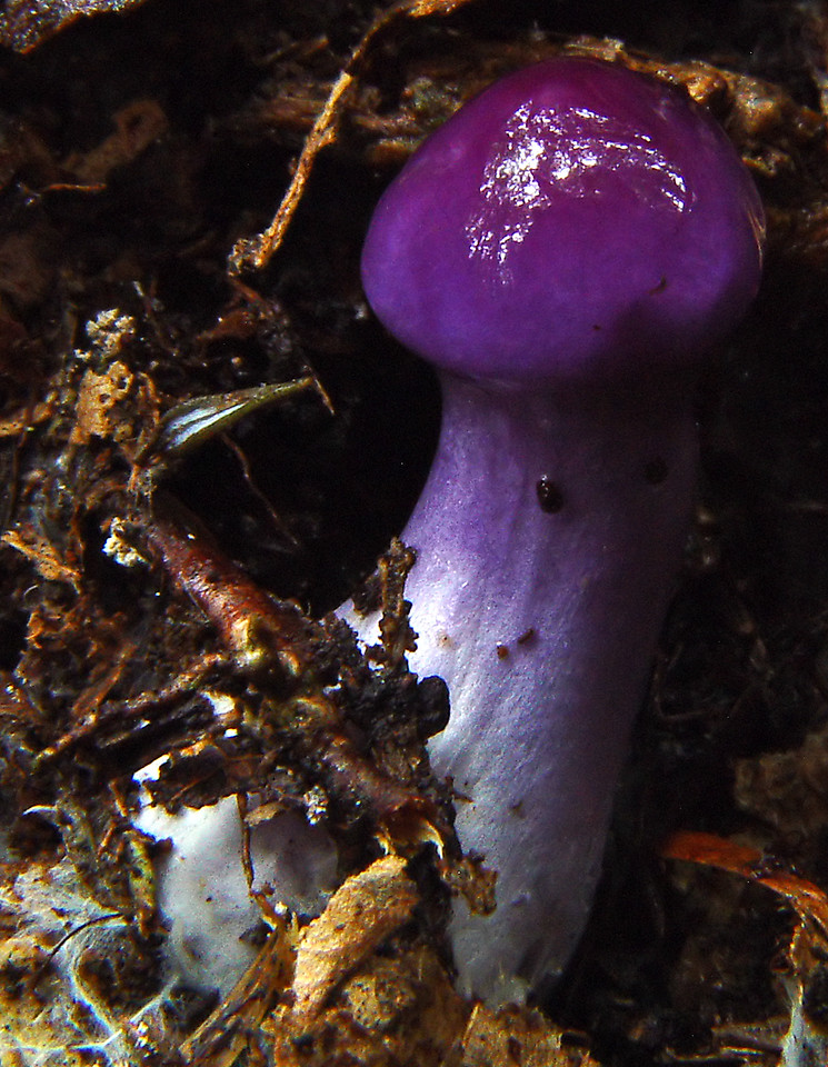 Cortinarius iodes (very Young -- this specimen approx. 3/4 of an inch tall)