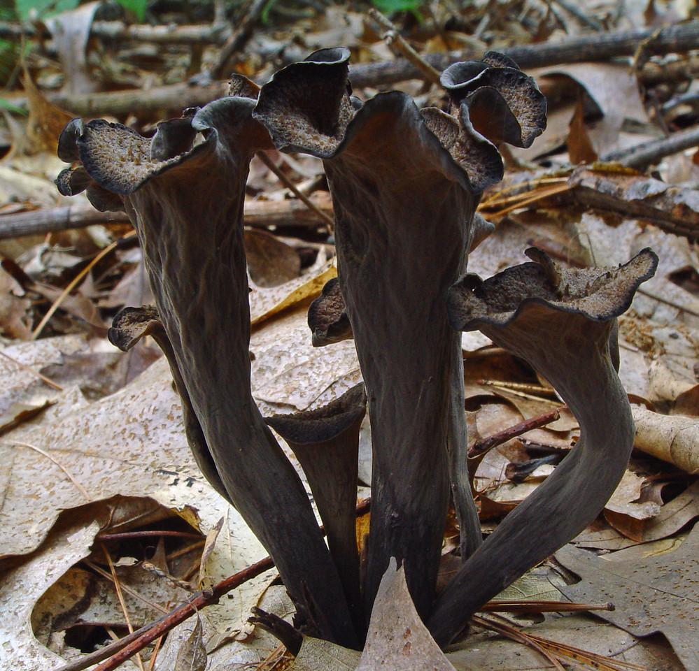 Craterellus fallax<br /> Black Trumpet