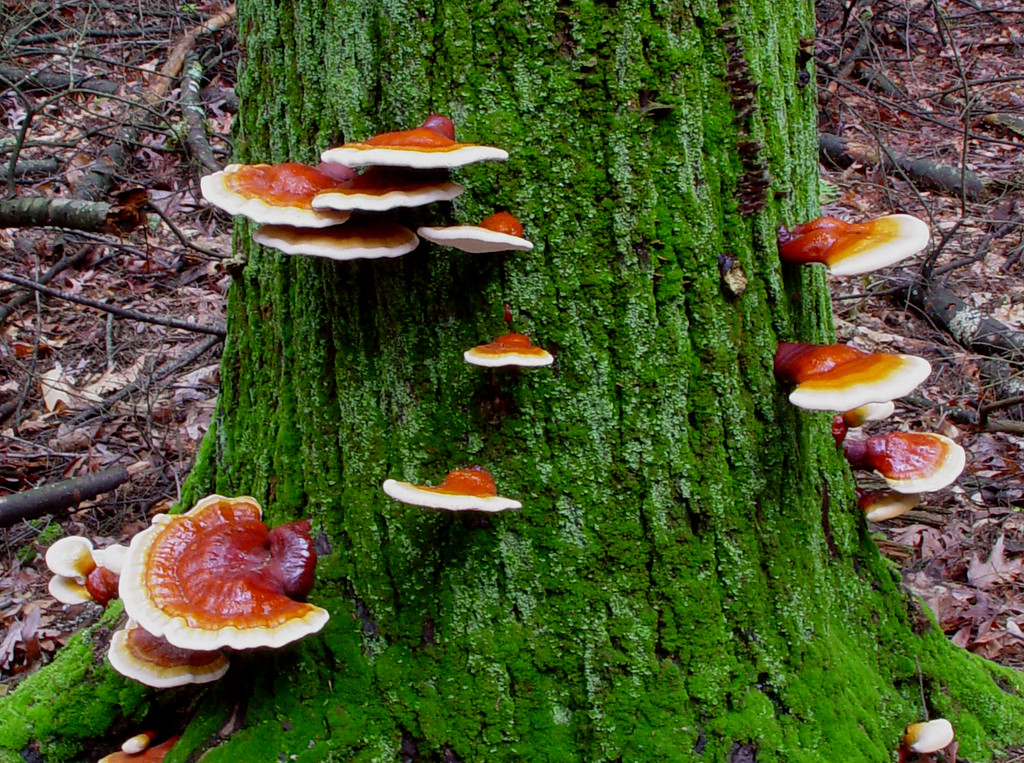 Ganoderma tsugae --Hemlock Varnish Shelf<br /> Sung-shan-ling-chih