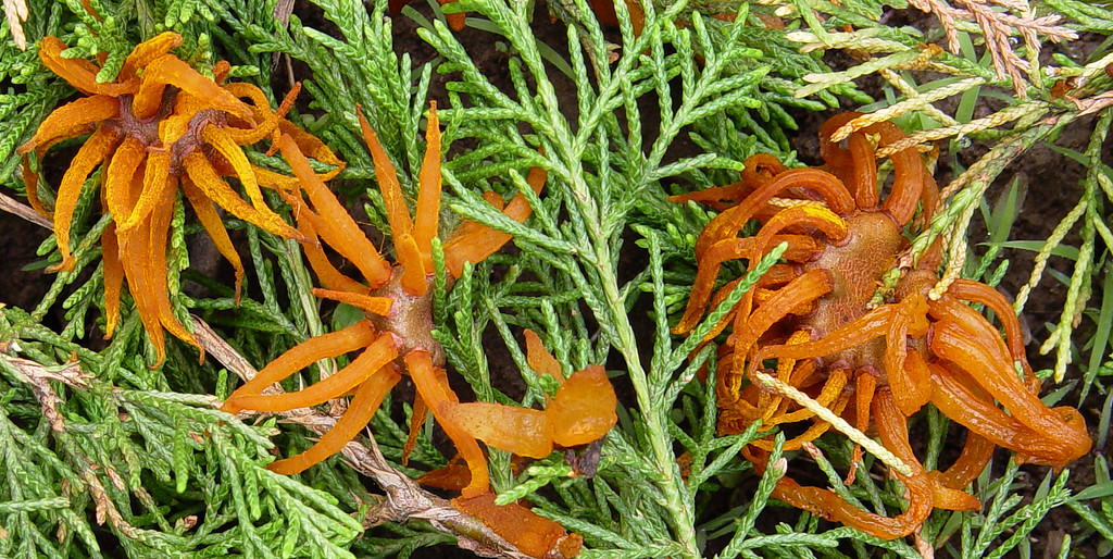 Gymnosporangium juniperi-virginiana <br /> Cedar Apple Rust