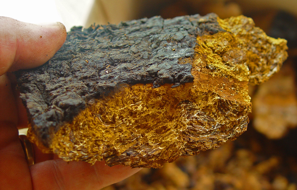 Inonotus obliquus - Also Known as Chaga
