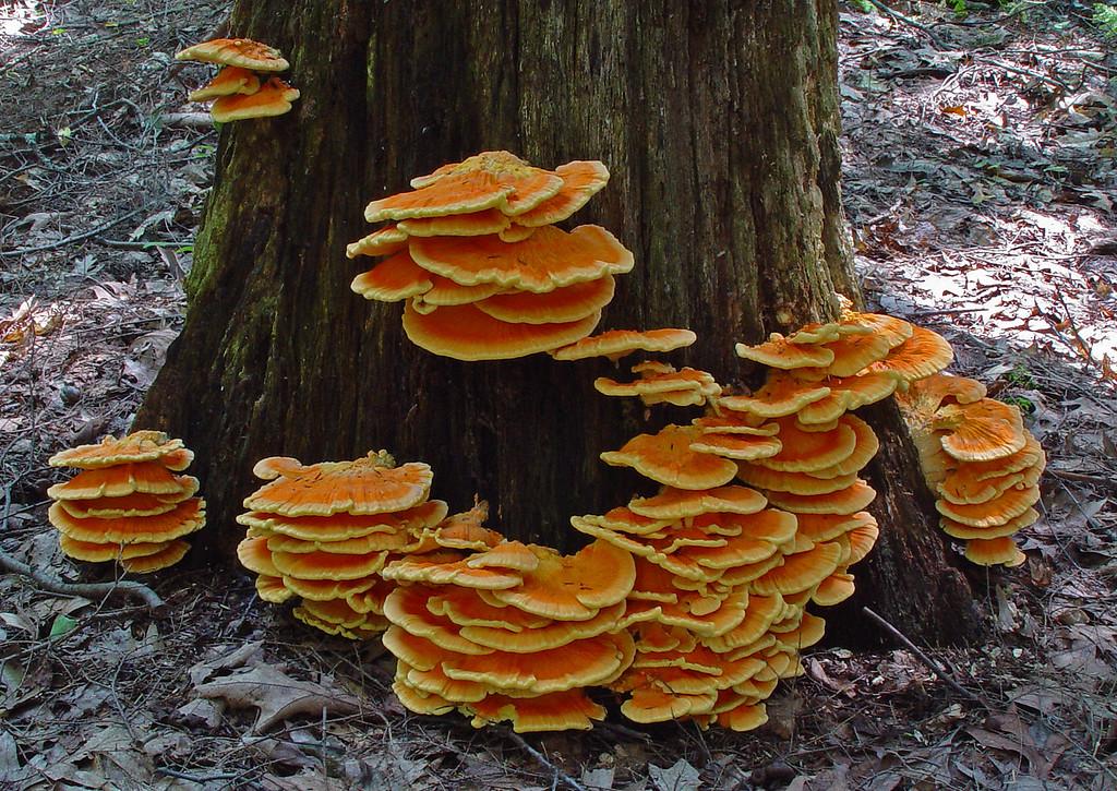 Laetiporus sulphureus -- Sulfur Shelf