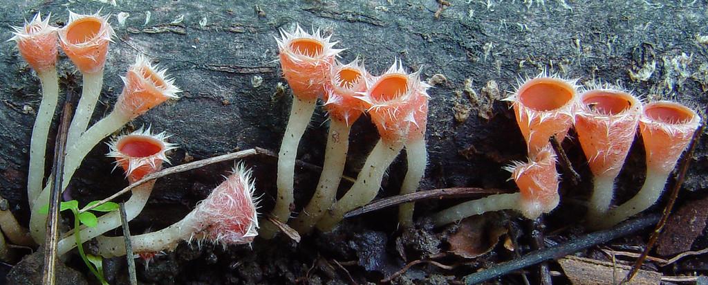 Microstoma floccosa
