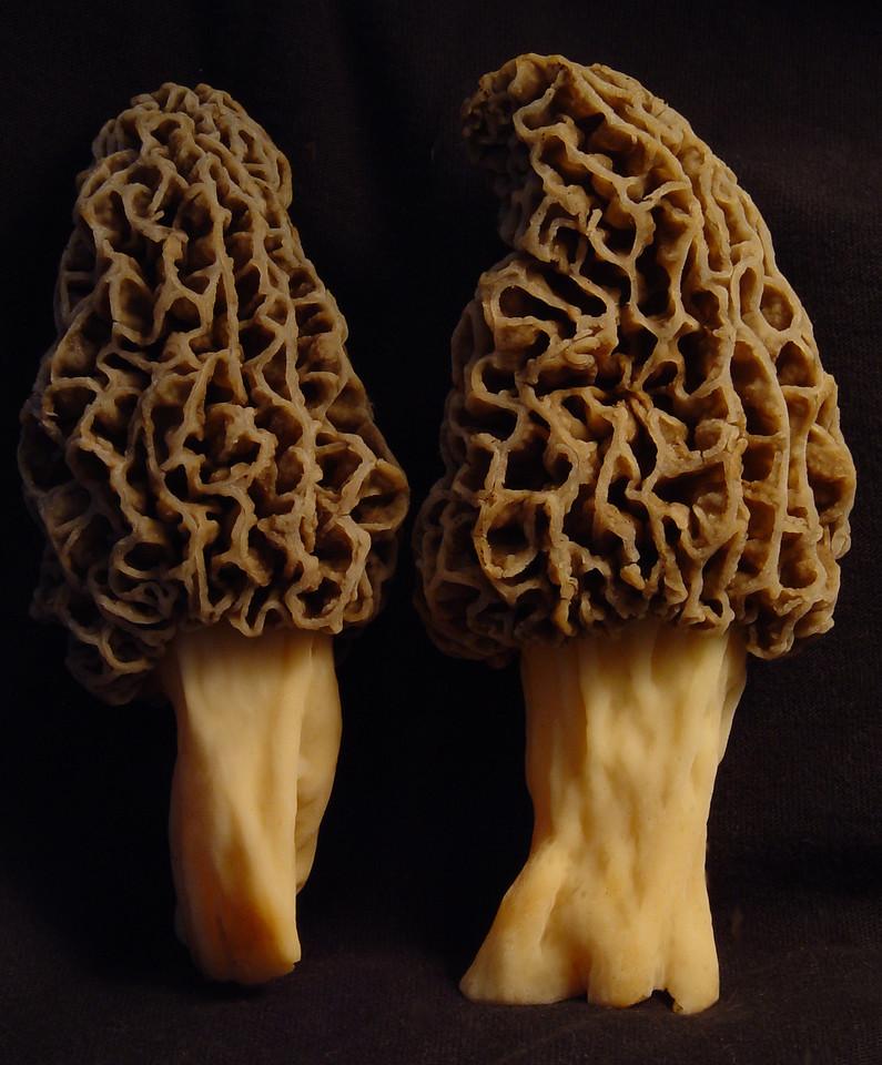 A likely pair <br /> Morchella esculenta  <br /> morels