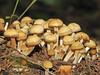 Common Stump Brittlestem, Psathyrella piluliformes - Edmonton, Alberta