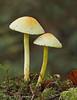 Sulphur Tuft, Hypholoma fasciculare