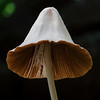 Conocybe sp.