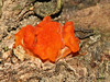 Dacrymyces palmatus - Orange Jelly