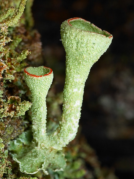 Pixie cups,  ,Mt Macedon, Victoria