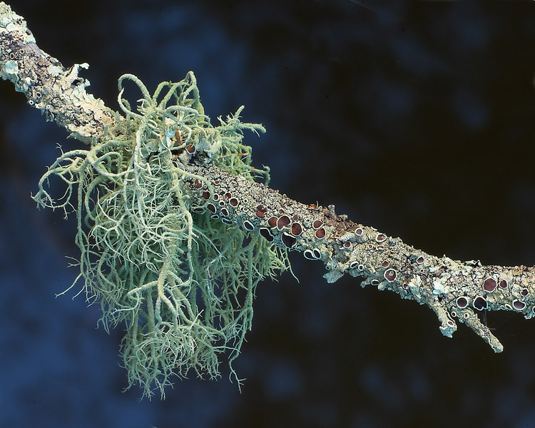 Witches hair  (or Spanish Moss), Alectoria sarmentosa, Swan River, Western Australia