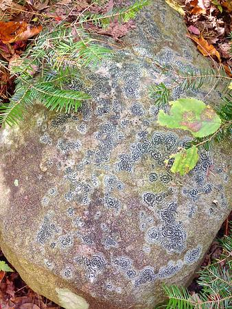 Porpidia crustulata