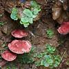 maybe Pseudobaeospora or Callistosporium