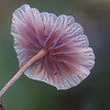 Crinipellis sp.
