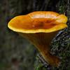 Austropaxillus infundibuliformis.  Bunyip State Forest, Victoria
