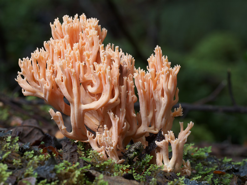 Orange Coral, Ramaria sp.