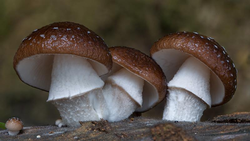 Oudemansiella sp.
